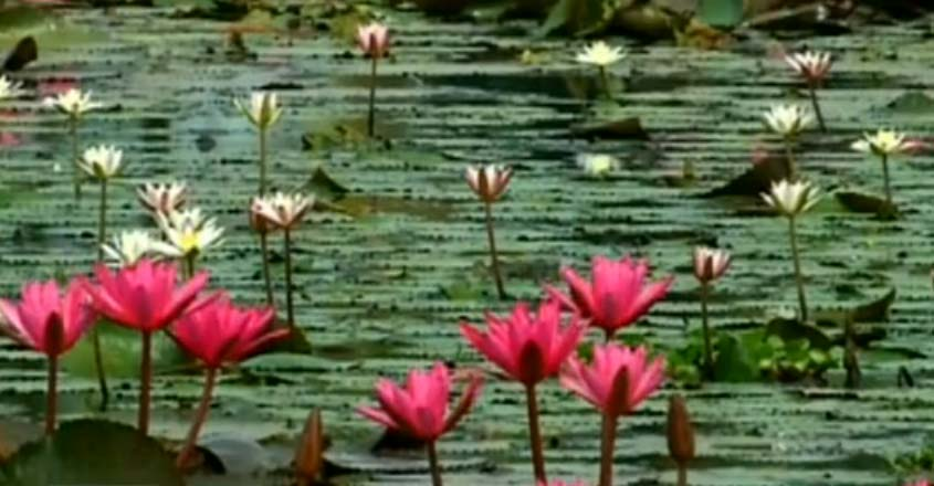 water-lilly-t