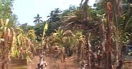കരിഞ്ഞുണങ്ങി കണ്ണൂരിന്റെ മലയോര മേഖലയിലെ കാർഷിക വിളകള്