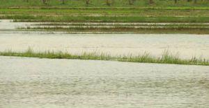 വെള്ളമിറങ്ങാതെ വയനാട് വെണ്ണിയോടുള്ള  ഹെക്ടർ കണക്കിന് പാടങ്ങൾ