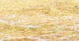കാലം തെറ്റിയെത്തിയ മഴ ചതിച്ചു; കോഴിക്കോട് വ്യാപക കൃഷിനാശം