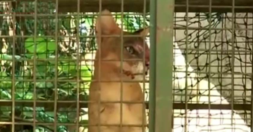 ranni-cat