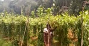 കർഷക കൂട്ടായ്മയിൽ അടൂരിൽ പച്ചക്കറി കൃഷി തിരികെ വരുന്നു