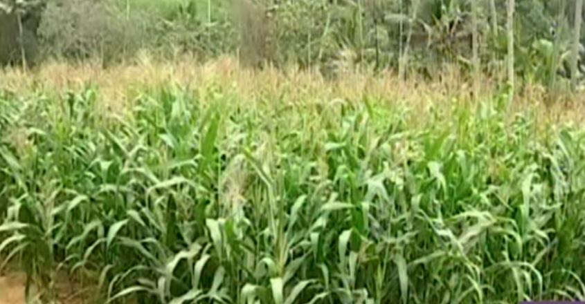 cholam-farming