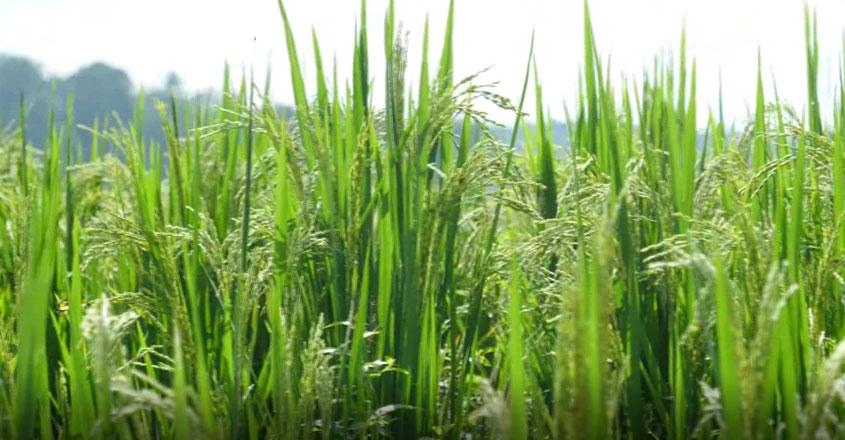 kollam-paddy-field