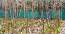 ഓണവിപണി തകർത്ത് കാട്ടുപന്നികൾ; അടൂരിൽ ഭീമമായ കൃഷിനഷ്ടം