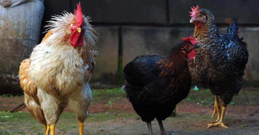 Chicken--