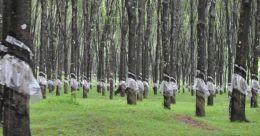 പ്രളയബാക്കി; തോട്ടം മേഖലയിൽ 3,070 കോടിയുടെ നഷ്ടം; താങ്ങുവില പ്രഖ്യാപിക്കണമെന്ന് ആവശ്യം