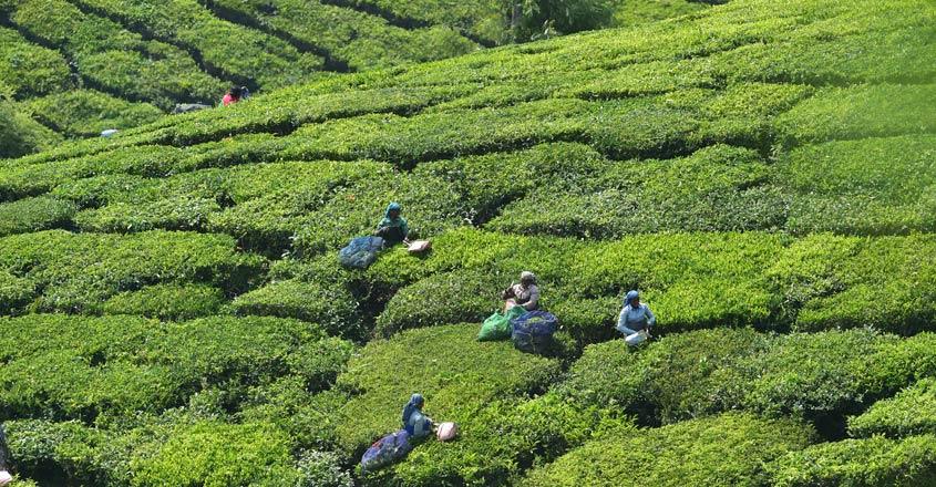Tea-plantation-main