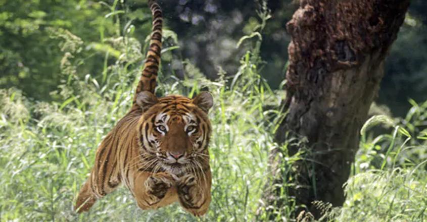 tiger-video