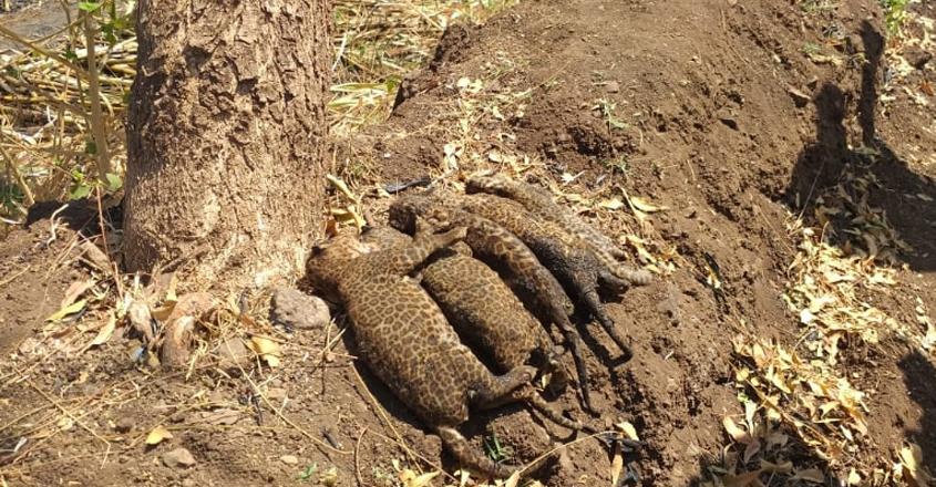 leopard-died