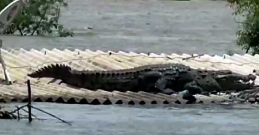 crocodile-spotted-on-rooftop-in-flood-affected-karnataka