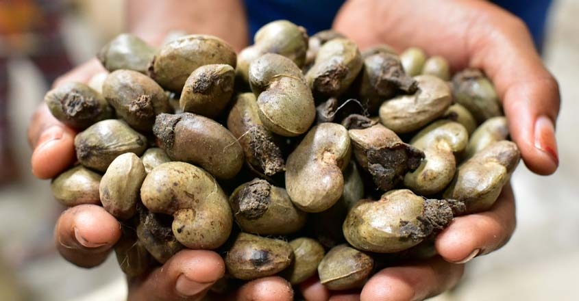 ICOAST-AGRICULTURE-CASHEW-NUTS