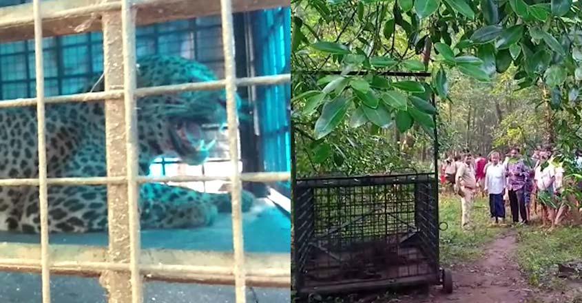 mannarkkad-forest-leopard