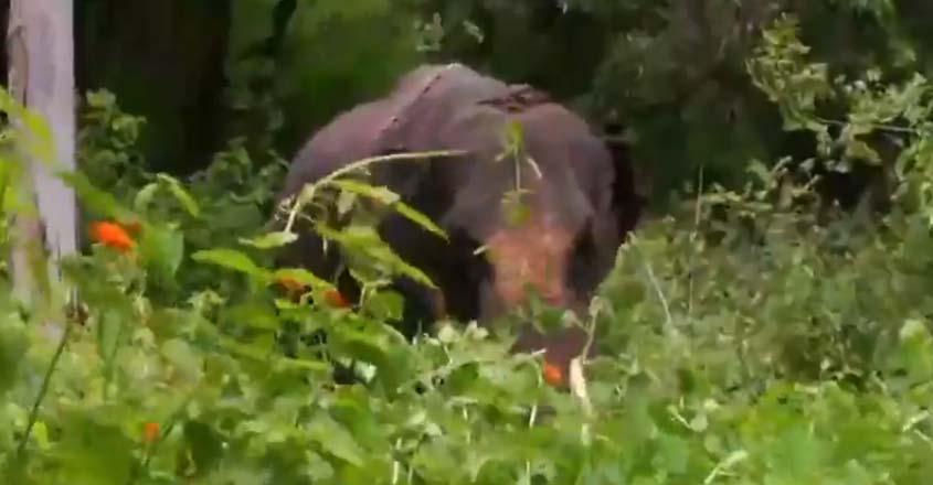 wild-elephant-muthanga
