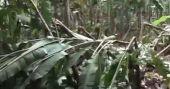 ശക്തമായ കാറ്റും മഴയും; ആര്യനാട് വൻ കൃഷിനാശം; കർഷകന് കണ്ണുനീർ