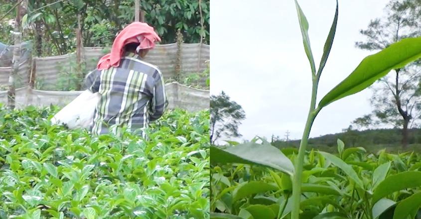 tea-farmers