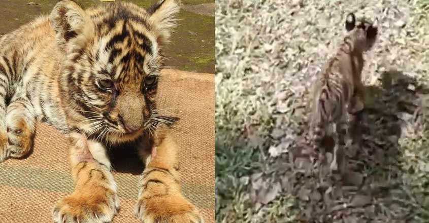 tiger-mangala