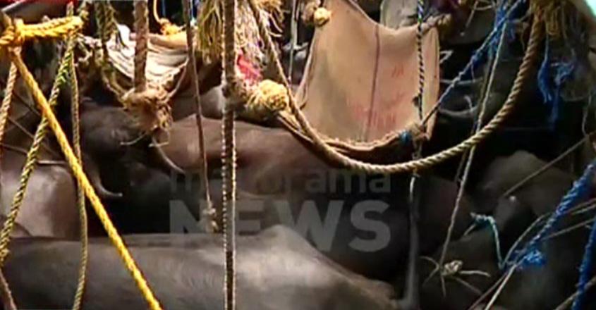 cattle-malappuram