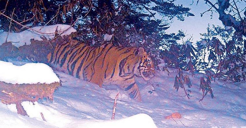tiger-arunachalpradesh