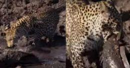 വെള്ളത്തിലിറങ്ങി ആഫ്രിക്കൻ മുഷിയെ വേട്ടയാടുന്ന പുലി; തരംഗമായി വിഡിയോ
