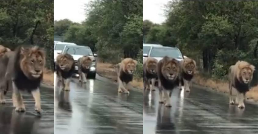 lions-road-video