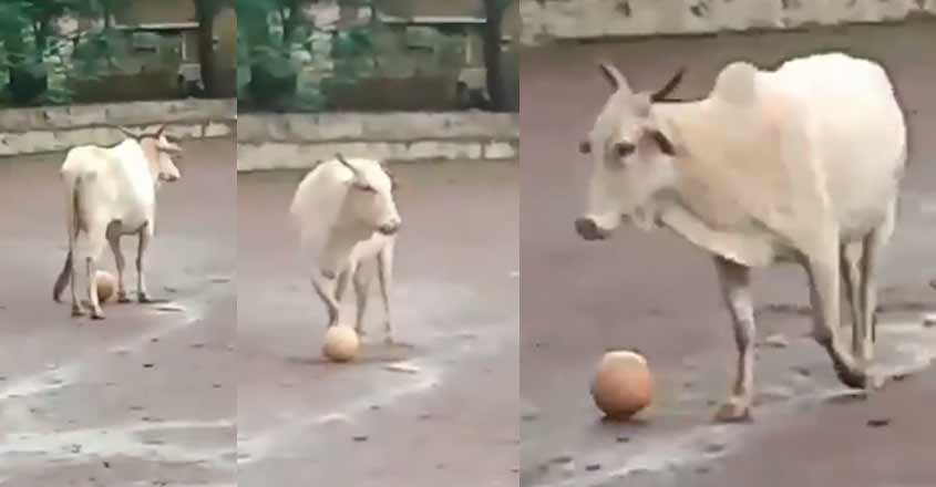 cow-football-video
