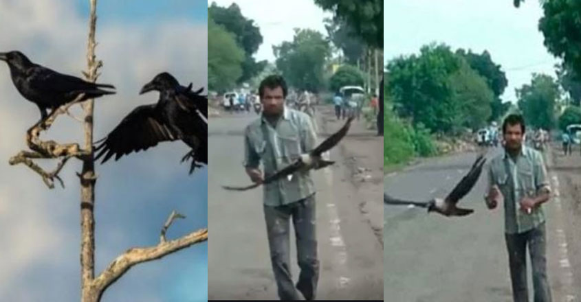 crow-attack