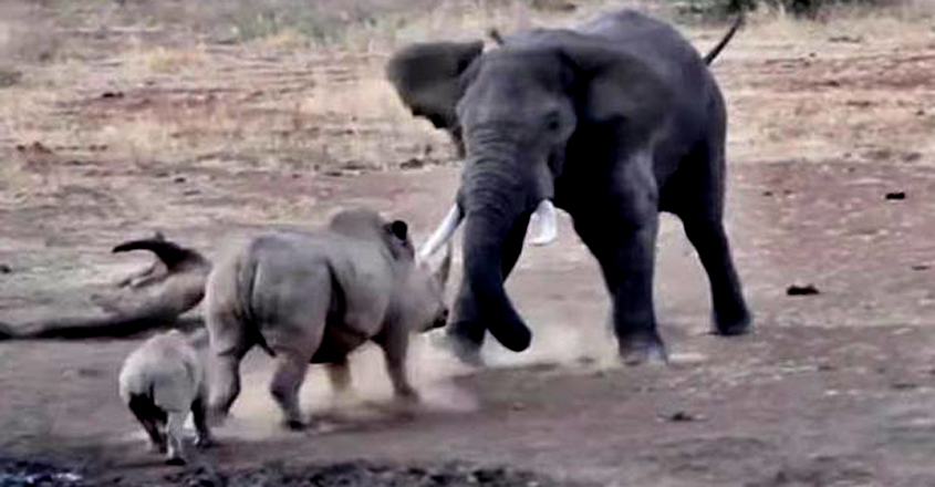 angry-elephant-tramples-rhino-and-calf4