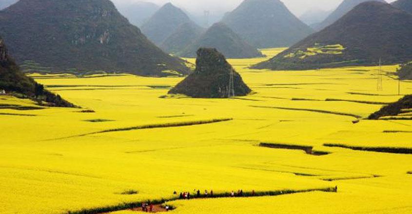 yellowfields-14