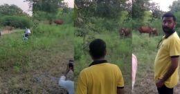 സിംഹവേട്ട കാണണം; ഗുജറാത്തിൽ പശുവിനെ ഇരയാക്കി; രോഷം
