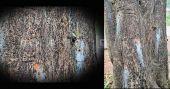 ആൽമരം മെഷീൻ ഉപയോഗിച്ച് തുളച്ച് മെർക്കുറി നിറച്ചു; പരാതിയുമായി നാട്ടുകാർ
