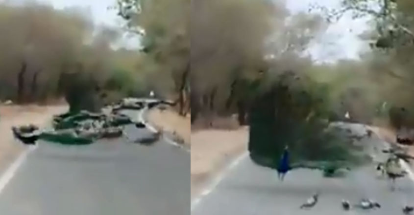 peacock-road
