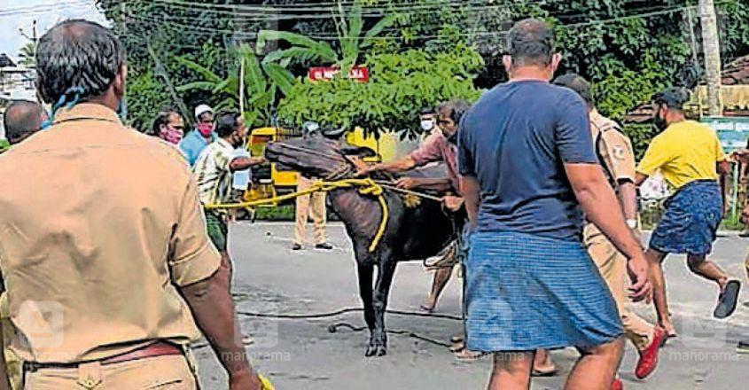 bull-rescue