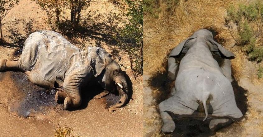 elephant-death