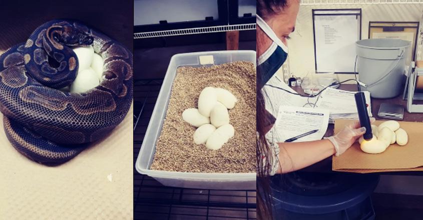snake-egg