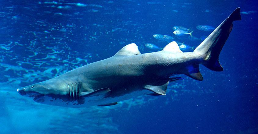 shark-attack-tiger