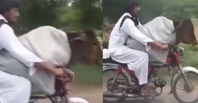 bike-cow-video