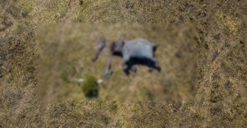 elephant-dead-body