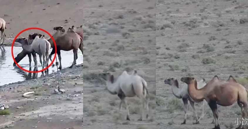 china-white-camel