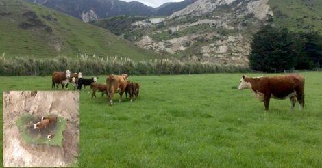 quake-cows-01.jpg.image.784.410