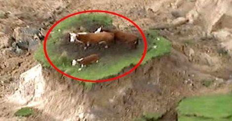 quake-cows.jpg.image.784.41
