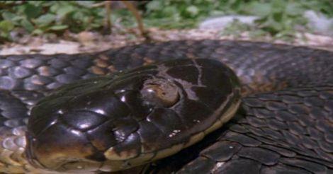 tiger-snake1