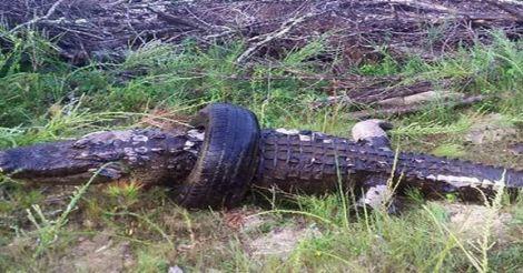 dead-gator-tire