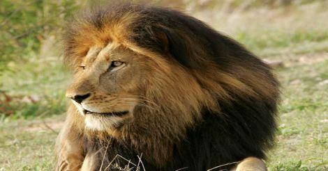 lion-limpopo