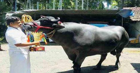 murrah-buffalo