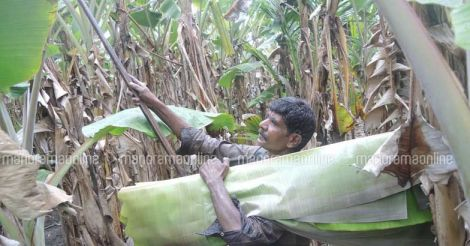 plantain-banana-leaf-plucking.jpg.image.784.410