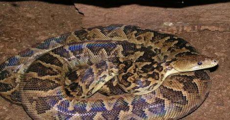 Cuban-Boa-Snake