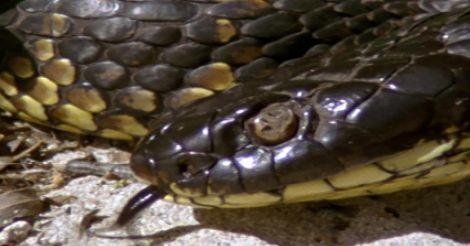 tiger-snake2