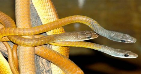 snake-at-australia